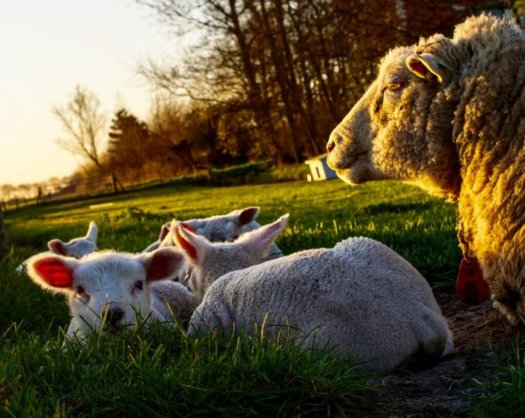 group of sheep lying on grass field