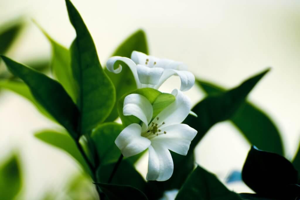 close shot of white flower
